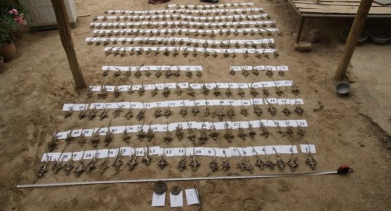 新疆吐鲁番:破获非法狩猎案件 扣押新疆岩蜥28...